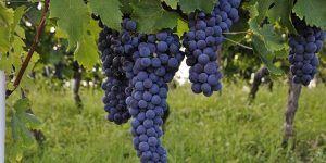 Viticultura, Enología y Cata Online